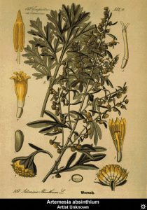 Illustration of Artemisia Absinthium Wermuth